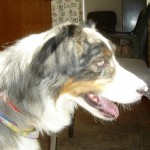 Ozzie, Australian Shepherd with Partial Paralysis in back legs