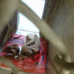 Flaco, a severely emmaciated Pit mix - Our next kid coming into care...this is Flaco & in addition to being extremely emaciated, he is non-weight bearing on his back leg!! He desperately needs our help! Please share him ♥ Thank you!