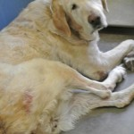 Emma, Yellow Lab Senior
