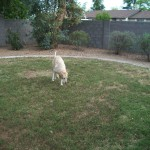 Emma enjoying the yard — in Chandler, Arizona