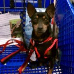 Spike took a shopping trip with his potential foster today ♥ He's doing an over night visit!
