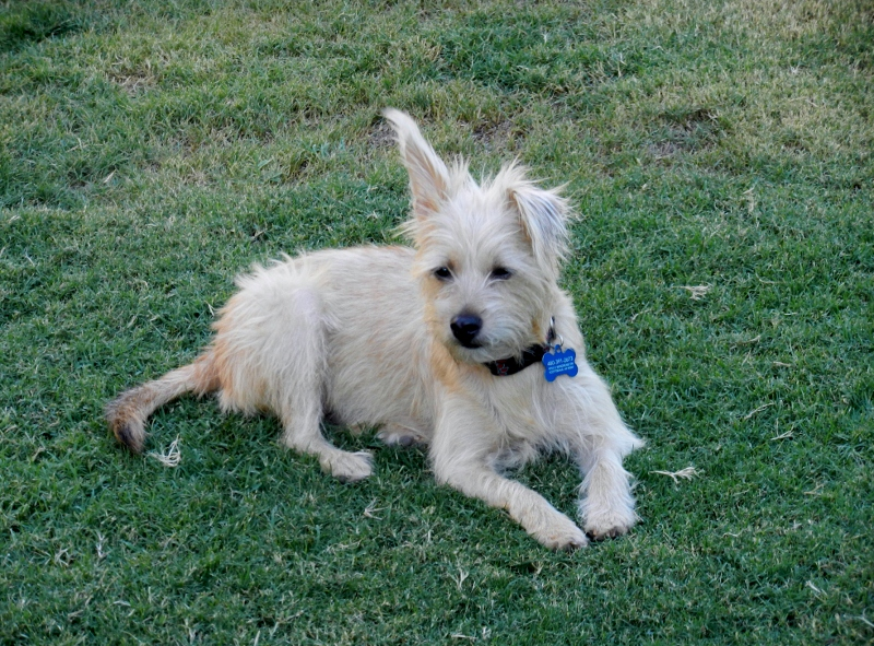 Dog Ready For Adoption Miniature Schnauzer Cairn Terrier Mixed | Dog ...
