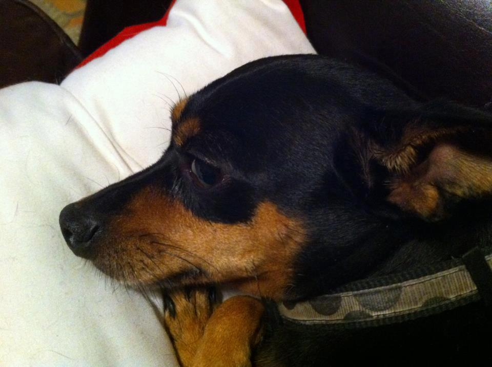 Pics Photos - Chihuahua Min Pin Mix Min Pin Chihuahua