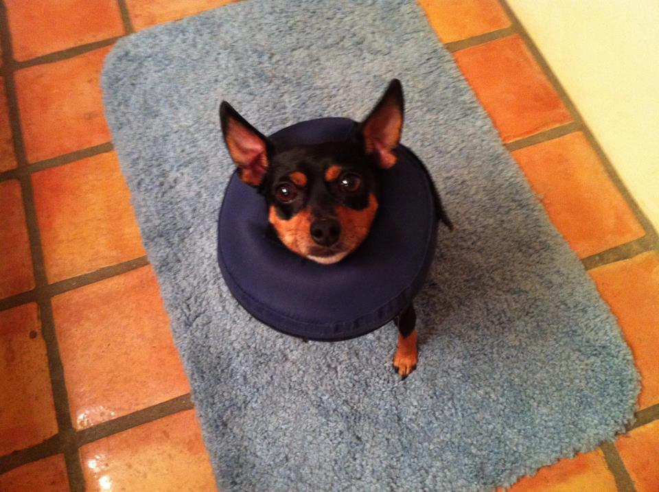 Chase, Min Pin Mix - M.A.I.N. - Medical Animals In Need, Dog Rescue in