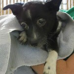 Flower, Schipperke-Border Collie Mix - Medical Animals In Need (11)