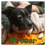 Flower, Schipperke-Border Collie Mix - Medical Animals In Need (14)