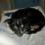 Flower, Schipperke-Border Collie Mix - Medical Animals In Need (2)