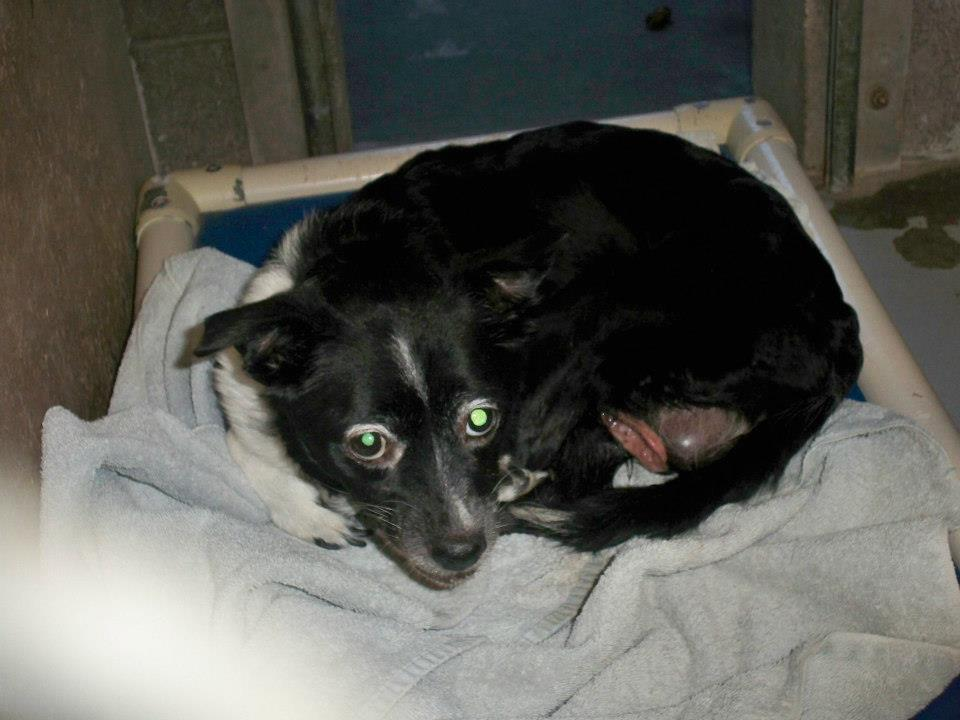 Flower, Schipperke-Border Collie Mix - M.A.I.N. - Medical Animals In