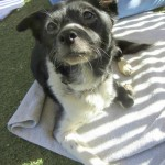 Flower, Schipperke-Border Collie Mix - Medical Animals In Need (4)