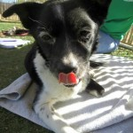 Flower, Schipperke-Border Collie Mix - Medical Animals In Need (5)