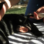 Flower, Schipperke-Border Collie Mix - Medical Animals In Need (6)