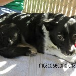 Flower, Schipperke-Border Collie Mix - Medical Animals In Need (8)