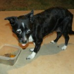 Flower, Schipperke-Border Collie Mix - Medical Animals In Need - Updates (1)