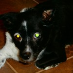 Flower, Schipperke-Border Collie Mix - Medical Animals In Need - Updates (3)