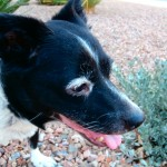 Flower, Schipperke-Border Collie Mix - Medical Animals In Need - Updates (7)