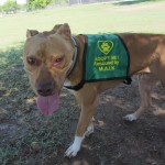 Lucky, Pit Bull Mix - Medical Animals In Need - After (2)
