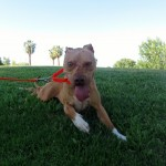 Lucky, Pit Bull Mix - Medical Animals In Need - After (20)