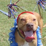 Lucky, Pit Bull Mix - Medical Animals In Need - After (21)
