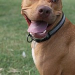 Lucky, Pit Bull Mix - Medical Animals In Need - After (7)