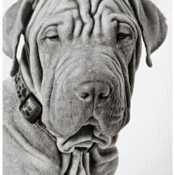 Churchill, Shar Pei