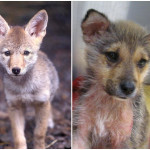 Coyote-Timber-Comparison