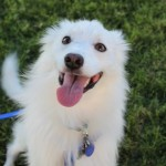 Perry, American Eskimo Mix