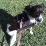 Hope, Papillon Mix