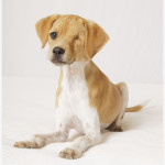 Sparky, Beagle Mix Puppy