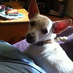 Dempsey, Chihuahua Mix