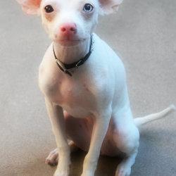 Ellie, Chihuahua Puppy