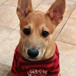 Jasper, Shepherd Puppy