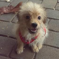 Roscoe, Terrier Puppy