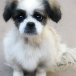 Dixie, Shih Tzu Mix