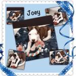 Joey, Pit Bull Terrier Puppy