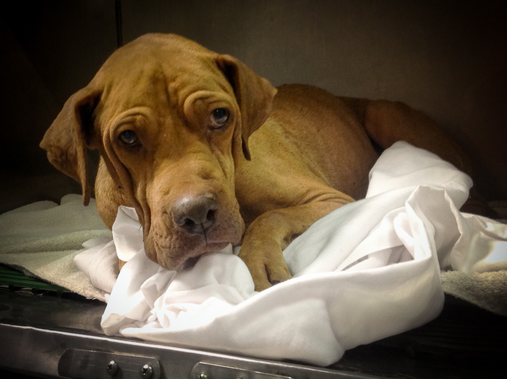 Sophia, Shar Pei Mix : M.A.I.N. – Medical Animals In Need ...