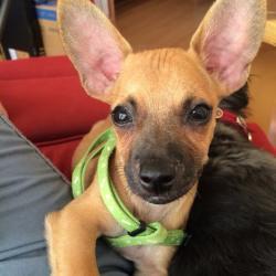 Cricket, Chihuahua Puppy