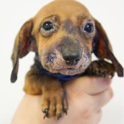 Aly, Daschund Puppy