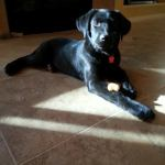 Shilly, Lab Mix Puppy