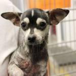 Bonnie, Chihuahua