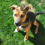 Farley, Rottweiler Mix Puppy