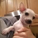 Kane, Chihuahua Puppy
