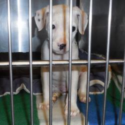 Tucker, Pit Bull Terrier Mix Puppy