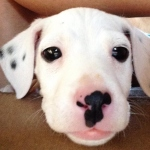 Tucker, Pit Bull Terrier Mix Puppy