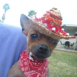 Bitsy, Chihuahua