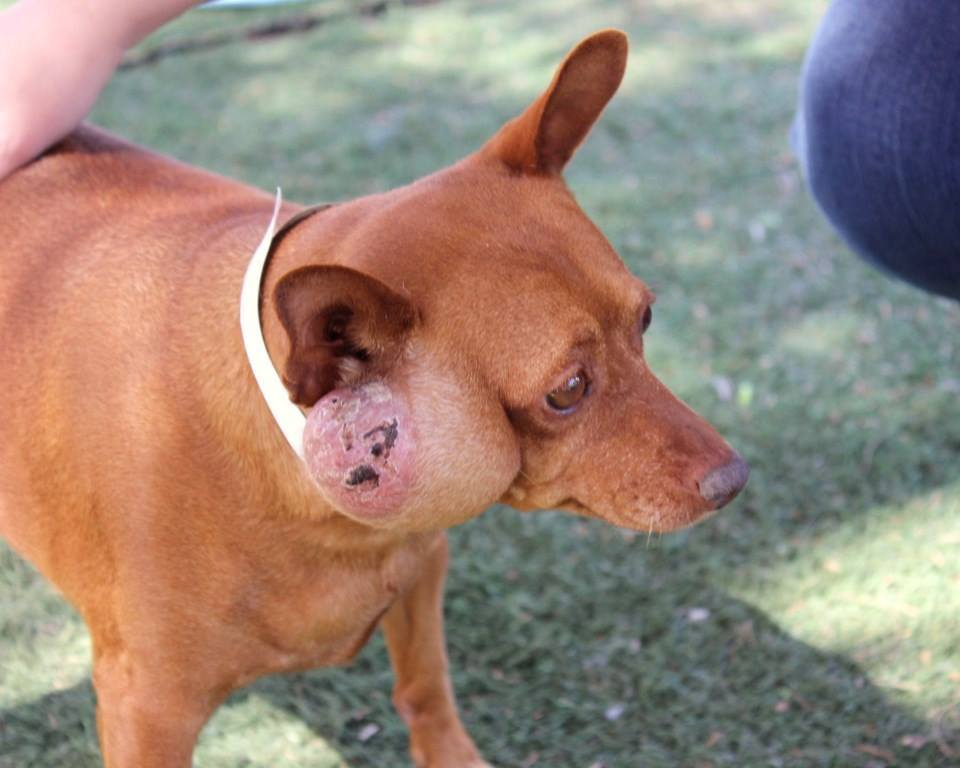 Sofia, Min-Pin Mix – M.A.I.N. – Medical Animals In Need ...
