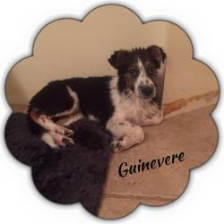 Guinevere, Australian Shepherd Mix