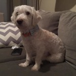 Pippin, Poodle Mix