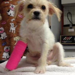 Chili, Terrier Puppy