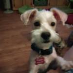 Manny, Poodle Mix Puppy
