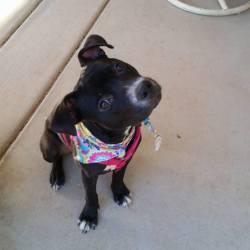 Myka, Pit Bull Terrier Mix